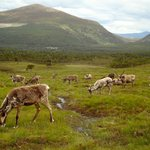 Walking among the reindeer herd on the mountain outside Aviemore.