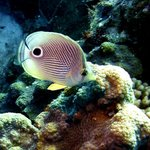 Four-eye Butterflyfish