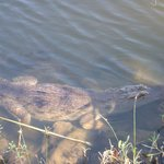 'Tame' crocodile at Calypso restaurant