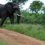leopard meets elephant on the road