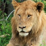 King of the jungle and big 5 member