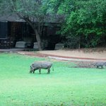 warthogs visiting the lodge area