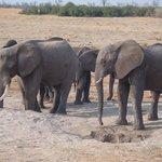 Elephant Drinking At Nehimba
