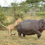 Löwen jagen Hippo