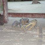 Este enorme cangrejo llegó caminando hasta la zona de playa del hotel