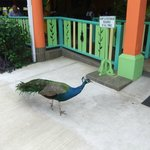 peacocks roaming through the resort, awesome!!!