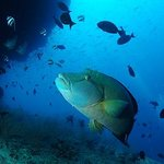 A Napoleon wrasse hovers under a shallow reef ledge.