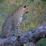 first drive at Mohlabetsi and we already saw the Big Five!...