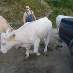 Josef con le sue mucche