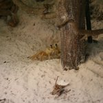 Ghost crab living next to light in front of our patio