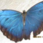 Blue Morpho in Akumal lobby