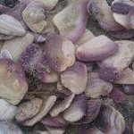 purple shell fragments on Merrimack beach in Salvo NC