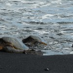 Green Turtles coming up onto the black beach