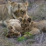 Limpy and her cubs