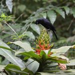Scarlet-rumped Cacique