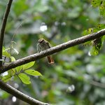 Streaked Flycatcher caught a prickly caterpiller