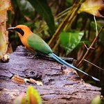 Rufous Motmot at the feeders on the property
