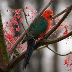 A King Parrot resting in our well established gardens