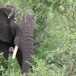 Elephant near the logde