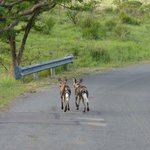 Wilddogs at Hluhluwe