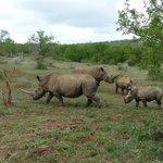 Rhinos at Hluhluwe