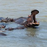 Hippos at St. Lucia