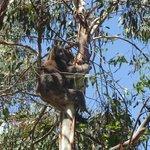 Hanson Bay Koala
