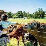 Feeding cows bread
