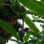Bananen im Garten