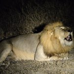 Lion roaring right beside the vehicle