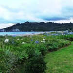 agapanthas lining Whangamata Beach (December)