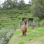 Friendly llamas