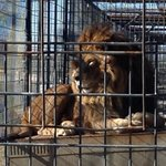 Lion! :)