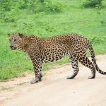 Leopard sighting in Yala!