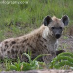 Young male hyena