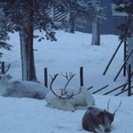 Reindeer sleeping - taken from our room