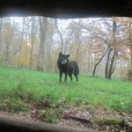 timberwolf proche