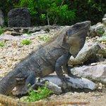 Many Iguanas