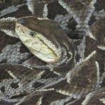 Reptilia.