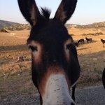 Karpaz Donkey