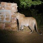 Leopard am Hinweisschild zur Lodge