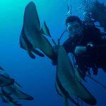 Fledermausfische an der El Mina