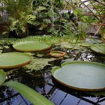 The huge water lilies.