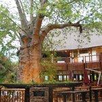 Baobab  dans le lobby