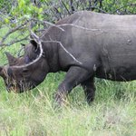 Black Rhino which we searched for unsuccessfully in the KNP