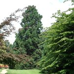 Giant Sequoia, Upper Gardens
