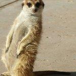 """""""Kiri"""" the meerkat"""