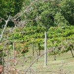 Simon Creek vines
