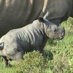 Piglet ! Rhino 4 days old Nov 25 2013