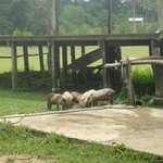 Pigs at the horse yard